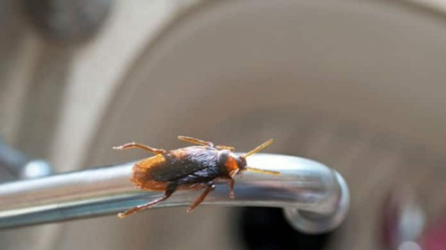 Οι κατσαρίδες είναι παντού στο σπίτι σας; Βάλτε μαγειρική σόδα με άχνη και πείτε αντίο!