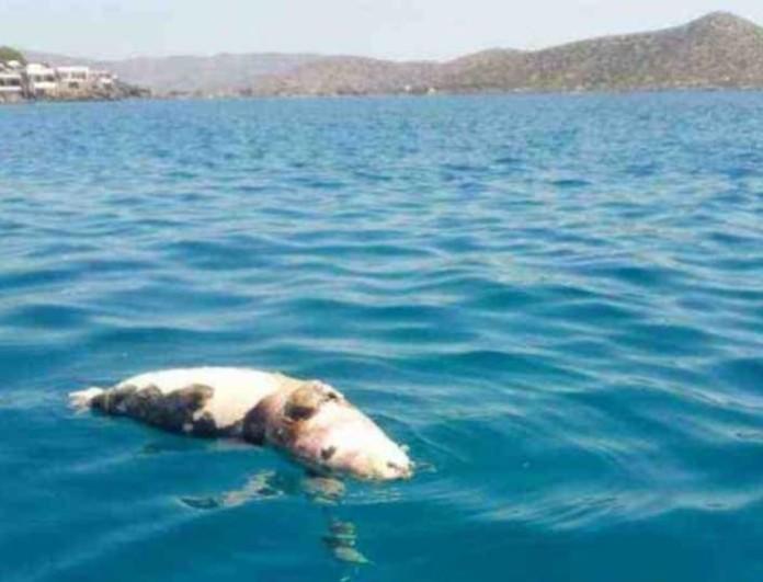 Φρίκη στην Κρήτη! Σκότωσαν φώκια περνώντας της σχοινί με πέτρες στο λαιμό