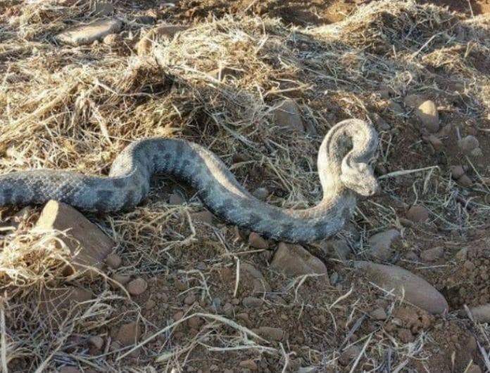 Αδιανόητο! Άνδρας δάγκωσε φίδι και νοσηλεύεται στο νοσοκομείο!