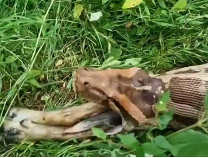 Βίντεο που συγκλονίζει: Πύθωνας καταβρόχθισε αδέσποτο σκύλο! Πολύ σκληρές εικόνες!