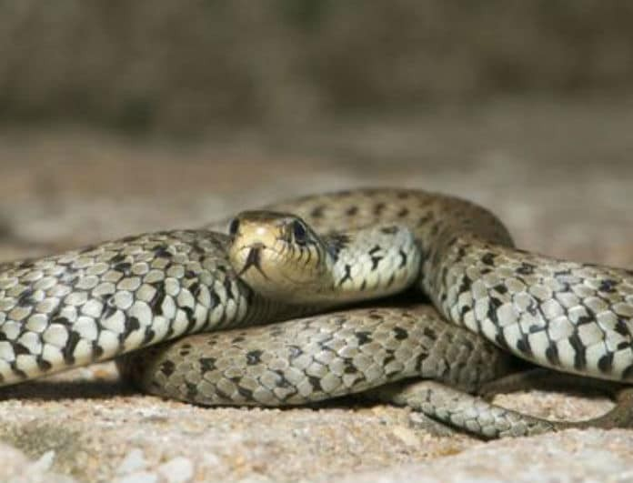 Φρίκη! Βρέθηκε νεκρή ανάμεσα σε 140 φίδια!