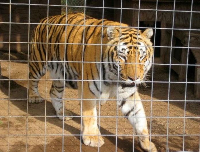 Αδιανόητο! Πέταξαν μία κατσίκα στο κλουβί της τίγρης και τότε...