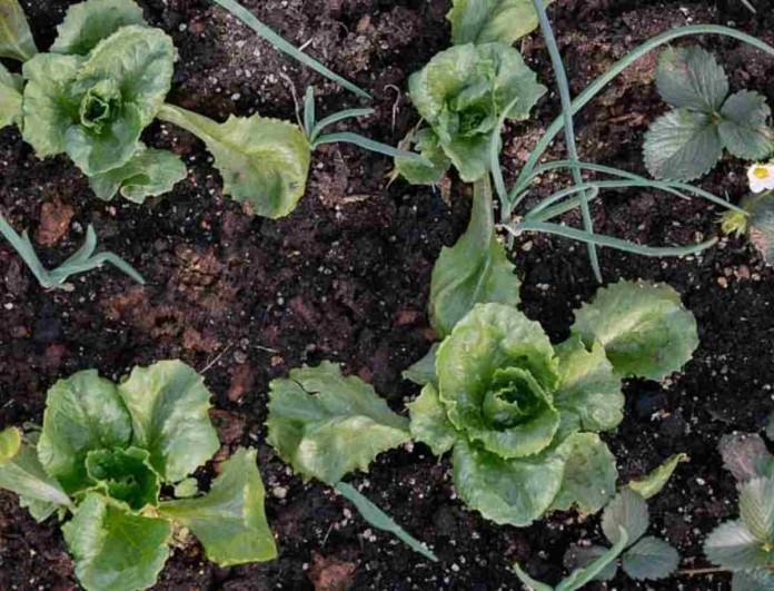 Ψεκάστε με μαγειρική σόδα τα λαχανικά του κήπου σας - Έτσι θα εξαφανίσετε όλα τα έντομα που τα καταστρέφουν