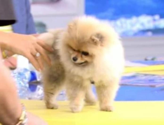 Happy Day: Το σκυλάκι του Τρύφωνα Σαμαρά τα... έκανε στο πλατό της Τσιμτσιλή