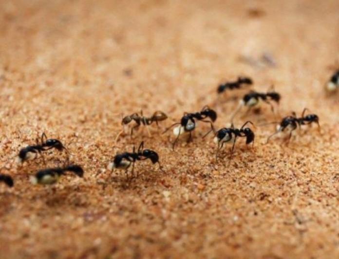 Γέμισες μυρμήγκια στο σπίτι; Θα εξαφανιστούν με μαγειρική σόδα!