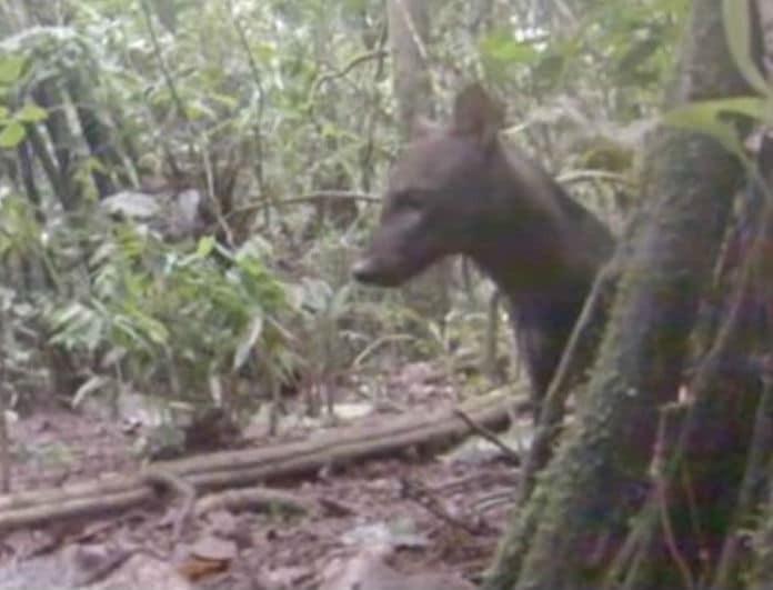 Σκύλος της ζούγκλας: Αυτό είναι το πιο σπάνιο ζώο στον κόσμο! (Βίντεο)