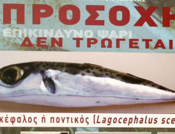 Γέμισε με λαγοκέφαλους το Αιγαίο! Πως να αναγνωρίσετε το ψάρι που προκαλεί θάνατο!