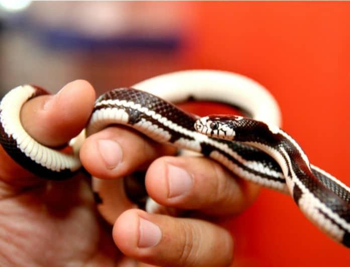 Τρομακτικό! Kοιμόταν κάθε βράδυ αγκαλιά με το φίδι της, μέχρι να ανακαλύψει τι πραγματικά συμβαίνει!