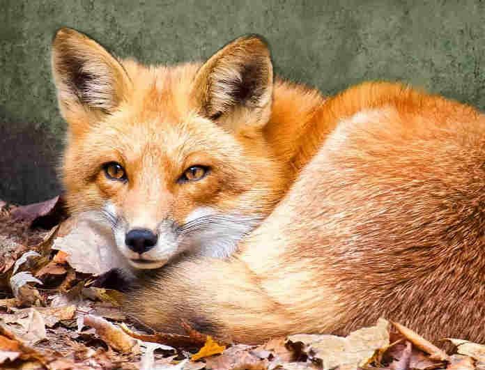 Φρίκη στο Αγρίνιο! Κρέμασαν αλεπού σε δέντρο! Πολύ σκληρές εικόνες!